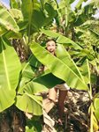 Hiding among the banana trees